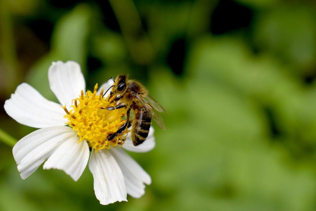 abeja flor así se recolecta el polen