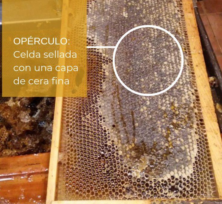 el opérculo es la celda sellada con una capa de cera fina